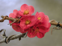 Quince_blossom