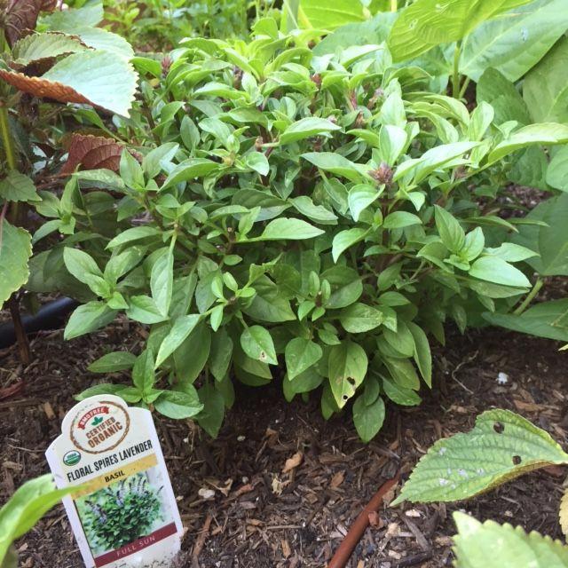 Herb-lavender-basil