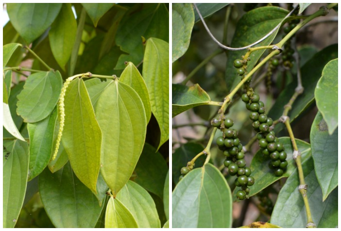 Vietnamese pepper -- immature green drupes