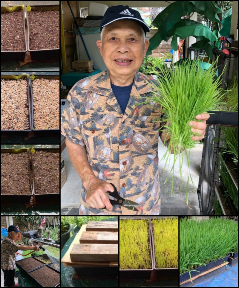 Dad's wheatgrass growing and juicing tips